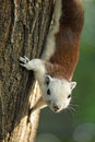 Squirrel climbing on tree and looking stock photo Royalty Free Stock Image
