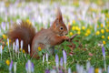 Squirrel between crocusses Stock Image