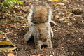Squirrel digging for accorn Royalty Free Stock Photo