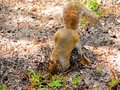 Squirrel digging ground Royalty Free Stock Photo