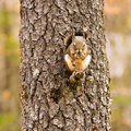 Squirrel Eating on a Branch Royalty Free Stock Photo