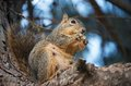 Squirrel Eating Bread Again Royalty Free Stock Photo