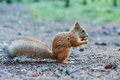 Squirrel is eating a hazelnut side view sitting on the ground Stock Photos