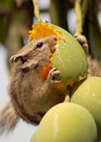 Squirrel eating mango Royalty Free Stock Photo