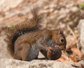 Squirrel eating nut. Stock Image
