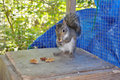 Squirrel eating nut in cage rescued gray sitting on top of nesting box a Royalty Free Stock Images