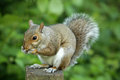 Squirrel eating nut close up of a grey a Stock Images