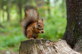 Squirrel is eating a nut sitting on stump Stock Photo