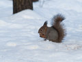 Squirrel eating a nut on snow background Stock Photo