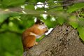 Squirrel eating a nut on a tree sitting in Royalty Free Stock Photo