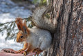 Squirrel eating nuts hand the sits on a and looks at the Stock Image