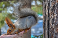 Squirrel eating nuts hand the sits on a and takes a nut Royalty Free Stock Photography