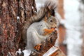 Squirrel eating nuts in snowy forest Royalty Free Stock Photos