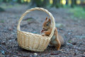 Squirrel is eating nuts from the wicker sitting on ground Royalty Free Stock Photos