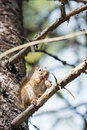 Squirrel eating a pine cone Royalty Free Stock Photo