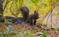 Squirrel eating pine nuts on the forest Royalty Free Stock Photo