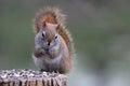 Squirrel Eating Seeds