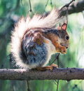 Squirrel eating on the tree Stock Photography