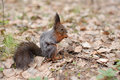 Squirrel eats amid fallen leaves Royalty Free Stock Photography