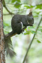 Squirrel eats nuts on a tree branch Stock Photos
