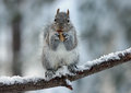 Squirrel Enjoying A Nut