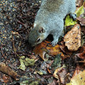 Squirrel on fallen leaves Royalty Free Stock Photos