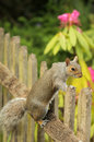 Squirrel on the fence grey looking through wooden Royalty Free Stock Photos