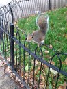Squirrel on fence iron in saint james park london Stock Images