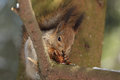 Squirrel with a fir cone the sits on tree and eats the Stock Images