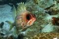 Squirrel Fish Stock Photos