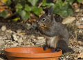 Squirrel foraging in the garden eating a nut close up side view of furry grey holding it up to its mouth with its paws with Royalty Free Stock Photos