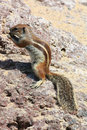 Squirrel fuerteventura in canary islands Stock Image