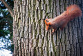 Squirrel ginger on a tree in lazienki royal bath park in warsaw poland Royalty Free Stock Photos