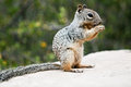 Squirrel gopher eating oak nut grand canyon arizona Stock Photo