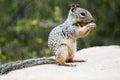 Squirrel gopher eating oak nut grand canyon arizona Stock Photo