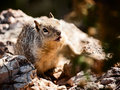 Squirrel in Grand Canyon National Park Royalty Free Stock Image