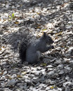 Squirrel a gray looking for food in the spring Stock Photo