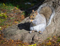 Squirrel grey in autumn park Royalty Free Stock Photos