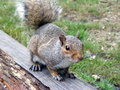Squirrel grey sat on a log Royalty Free Stock Photos
