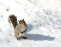 Squirrel grey standing on the snow looking toward the camera Stock Image