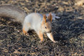 Squirrel on ground Royalty Free Stock Photo