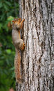 Squirrel hanging on Royalty Free Stock Image