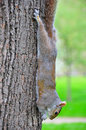 Squirrel hanging on tree Royalty Free Stock Photos