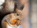 Squirrel with a hazelnut Stock Photography