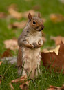 Squirrel on hind legs Stock Image