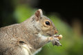 Squirrel holding nut close up of a grey a Stock Images