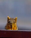 Squirrel this image shows a on our deck that appears to be praying as he looks at me Stock Photos
