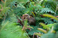 Squirrel among leaves a nestled Royalty Free Stock Photo