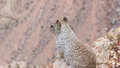 Squirrel on the lookout at the grand canyon Royalty Free Stock Photo