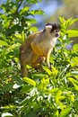 Squirrel monkey Royalty Free Stock Photo